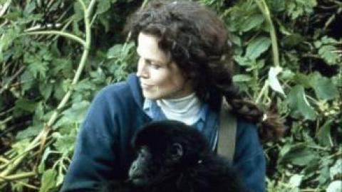 gorilles dans la brume 1988 un film de michael apted news date de sortie. Black Bedroom Furniture Sets. Home Design Ideas
